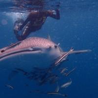 ดำน้ำเกาะทะลุ-ชมปลาการ์ตูนและดอกไม้ทะเล-ศึกษาดูงานวิสากิจ-บ้านรังนก